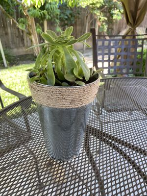 Succulent plant for Sale in Visalia, CA