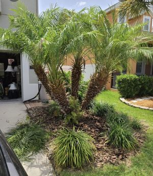 Free Pygmy Palms for Sale in Tampa, FL