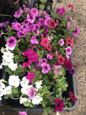 Beautiful colorful petunia potted flowers for Sale in Aurora, CO