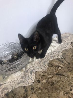 Kitten for Sale in Fairfax, VA