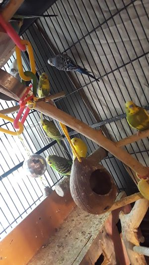 Rehome 10 parakeets for Sale in Duluth, GA