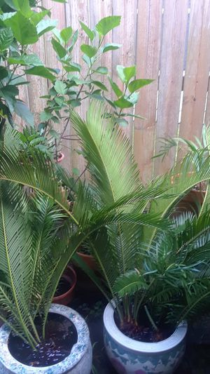 Big Sago palms to planted no pots for Sale in Houston, TX
