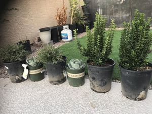 Plant for Sale in Las Vegas, NV