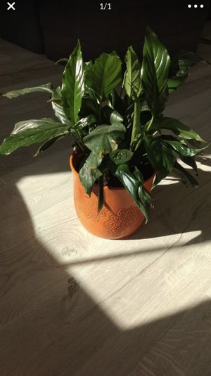 Peace lily plant with beautiful pot for Sale in San Jose, CA