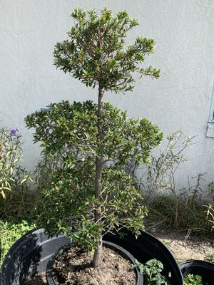 15 Gal 4.5 Feet Looking Healthy Topiary pre shaped $35 for Sale in Winter Garden, FL