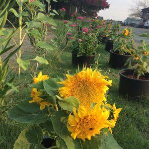 Dwarf Teddy Bear Sunflowers 🌻 for Sale in Sacramento, CA