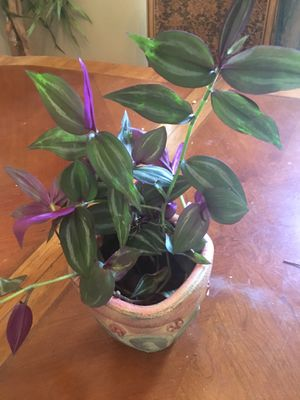 Purple Wandering Jew Rooted Plantlings Bundle for Sale in Kissimmee, FL