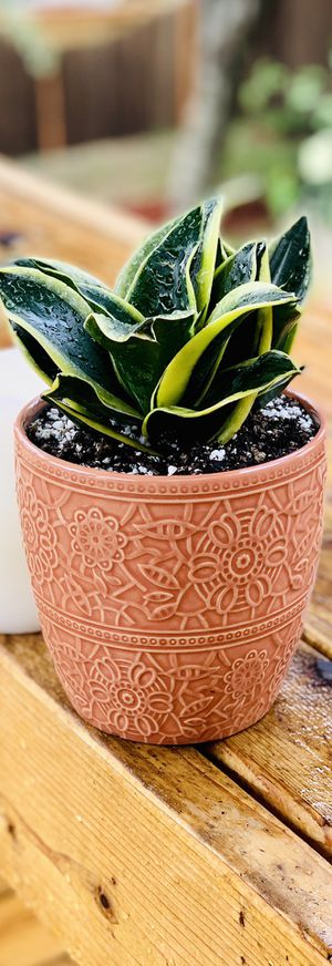 Live indoor Snake house plant in a textured ceramic planter flower pot—firm price for Sale in Seattle, WA