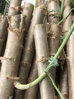 Cassava Plant for Sale in Orlando,  FL