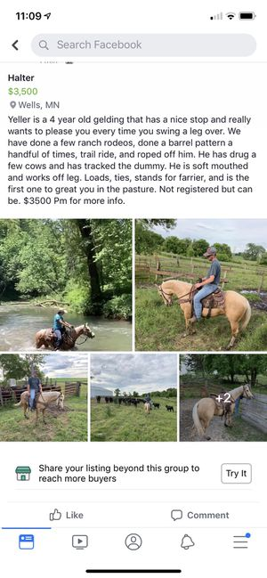 Palomino gelding for Sale in Ellendale, MN