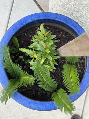 I have 5 sago palm growing for sale. for Sale in Modesto, CA