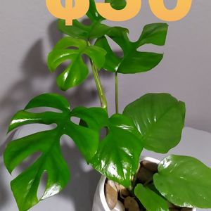 Real Monstera Rhaphidophora Plant Includes Ceramic Pot Perfect For Home for Sale in Garden Grove, CA