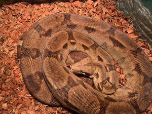 Snake/boa/reptile for Sale in Lake Elsinore, CA