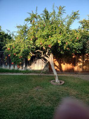 Pomegranates for Sale in San Jose, CA