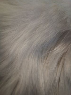 Cat fur for Sale in Buffalo, NY