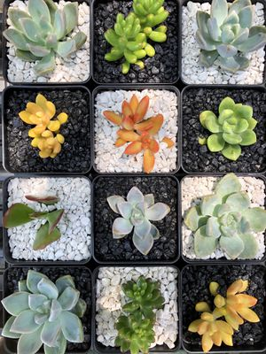 Succulent plants used as PARTY FAVORS for Sale in San Dimas, CA