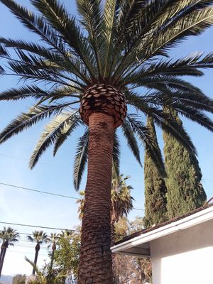 Palms and trees trimmer for Sale in Yorba Linda, CA