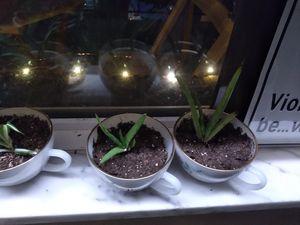 Aloe vera and Spider Plants for Sale in Belleville, IL