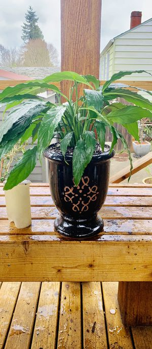 Live indoor Peace Lily plant in a textured ceramic urn planter flower pot—firm price for Sale in Seattle, WA