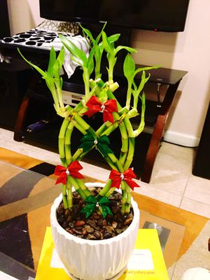 Braided lucky bamboo real live plant bow Christmas theme perfect for gift 🎁 for Sale in Garden Grove, CA