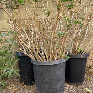 3 Large Hydrangeas Bushes for Sale in Aliso Viejo, CA
