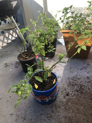1 Yr Old Ghost Pepper Tree for Sale in Chula Vista, CA