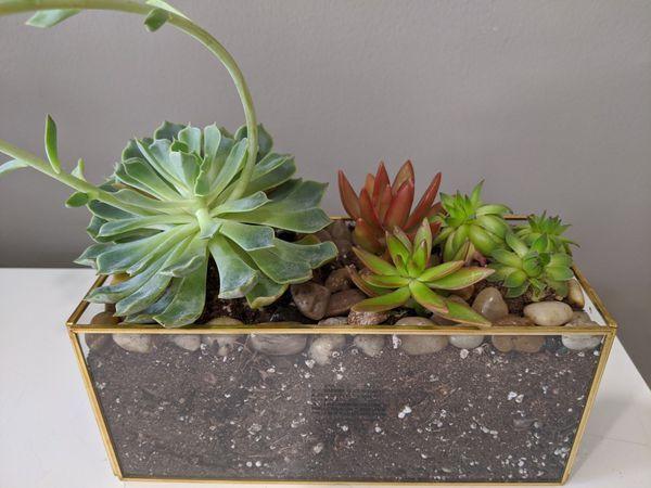 Live succulent arrangement