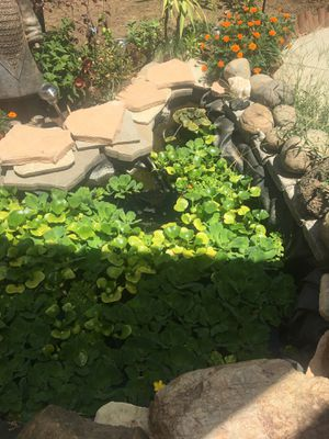 Water hyacinths and lettuce for Sale in Modesto, CA