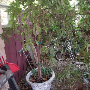 Trees/plants for Sale in Bakersfield, CA