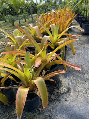 Bromeliads 3 gal for Sale in FL, US