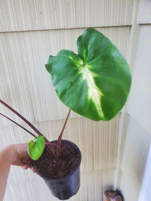 Colocasia Royal Hawaiian White Lava for Sale in Salem, OR