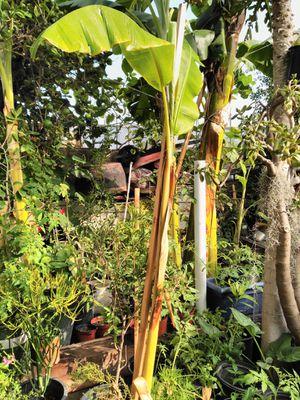 Banana macho tree for Sale in Los Angeles, CA