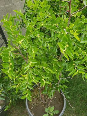 Jujube Chinese Super Sweet Apple Tree for Sale in Garden Grove, CA