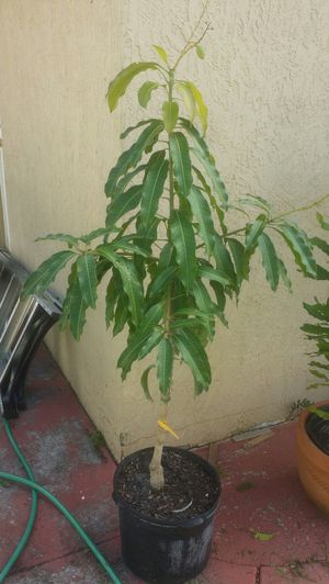yellow Mango tree 5ft tall for Sale in Oakland Park, FL