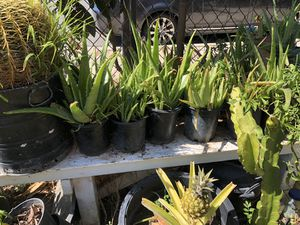 Aloe Vera plants for Sale in National City, CA