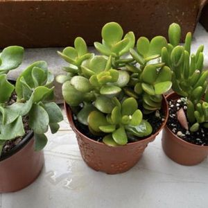 Set Of 3 Jades for Sale in Lynwood, CA