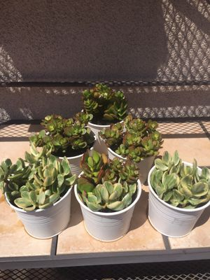 Potted succulents for sale for Sale in Carlsbad, CA