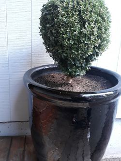 Real Topiary Inside Nice Black Large Ceramic Pot. for Sale in Tacoma,  WA
