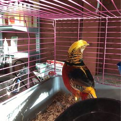 Golden Pheasant for Sale in San Leandro,  CA