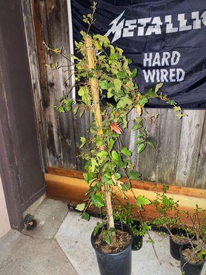 "Selling Beautiful ""Passiflora Coral Sea stalk Vine for Sale in San Jose, CA"