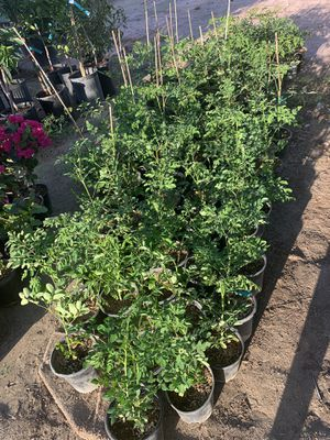 moringas medical plants 🌿🌿$10 each for Sale in Fresno, CA