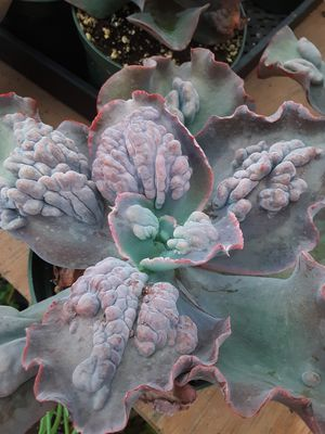 """6"""" pots with echeverria etna rare succulent plants today only $9 each for Sale in Whittier, CA"""