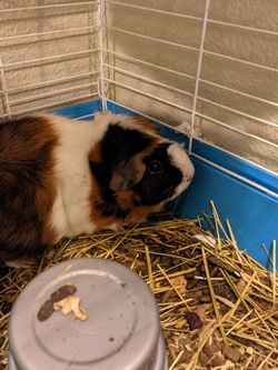 Guinea Pig! for Sale in Orting,  WA