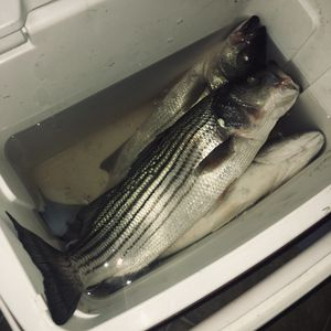 "Fresh caught striped bass or ""striper"" for sale for Sale in Fresno, CA"