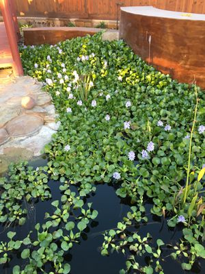 WATER HYACINTH for Sale in Bonita, CA