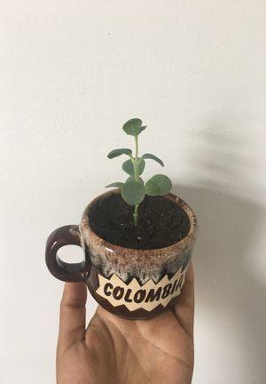 succulent for Sale in Boston, MA