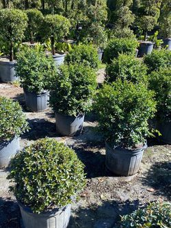 🌳TOPIARY OR SERISSA BALL SALE! $35.00 1.5 ft 3 gl for Sale in Miami,  FL