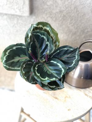 "4"" Calathea Medalion Plant for Sale in Spring Valley, CA"