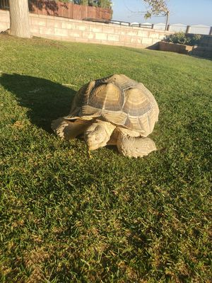 Secada trutles for sale $350 each leave a message if interested for Sale in Palmdale, CA