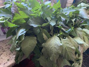 Se vende moras organicas for Sale in Rockville, MD